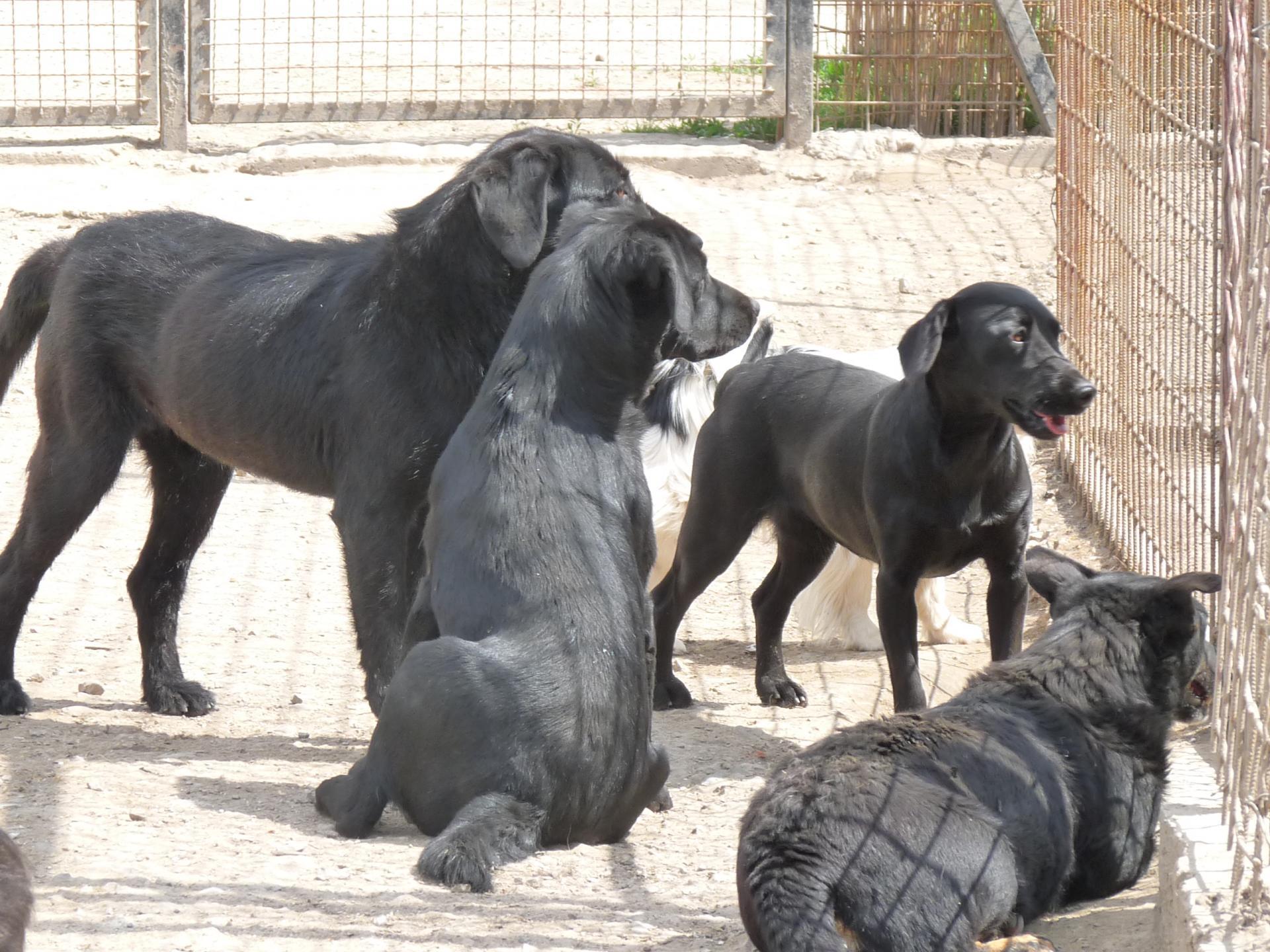 Black dogs 1