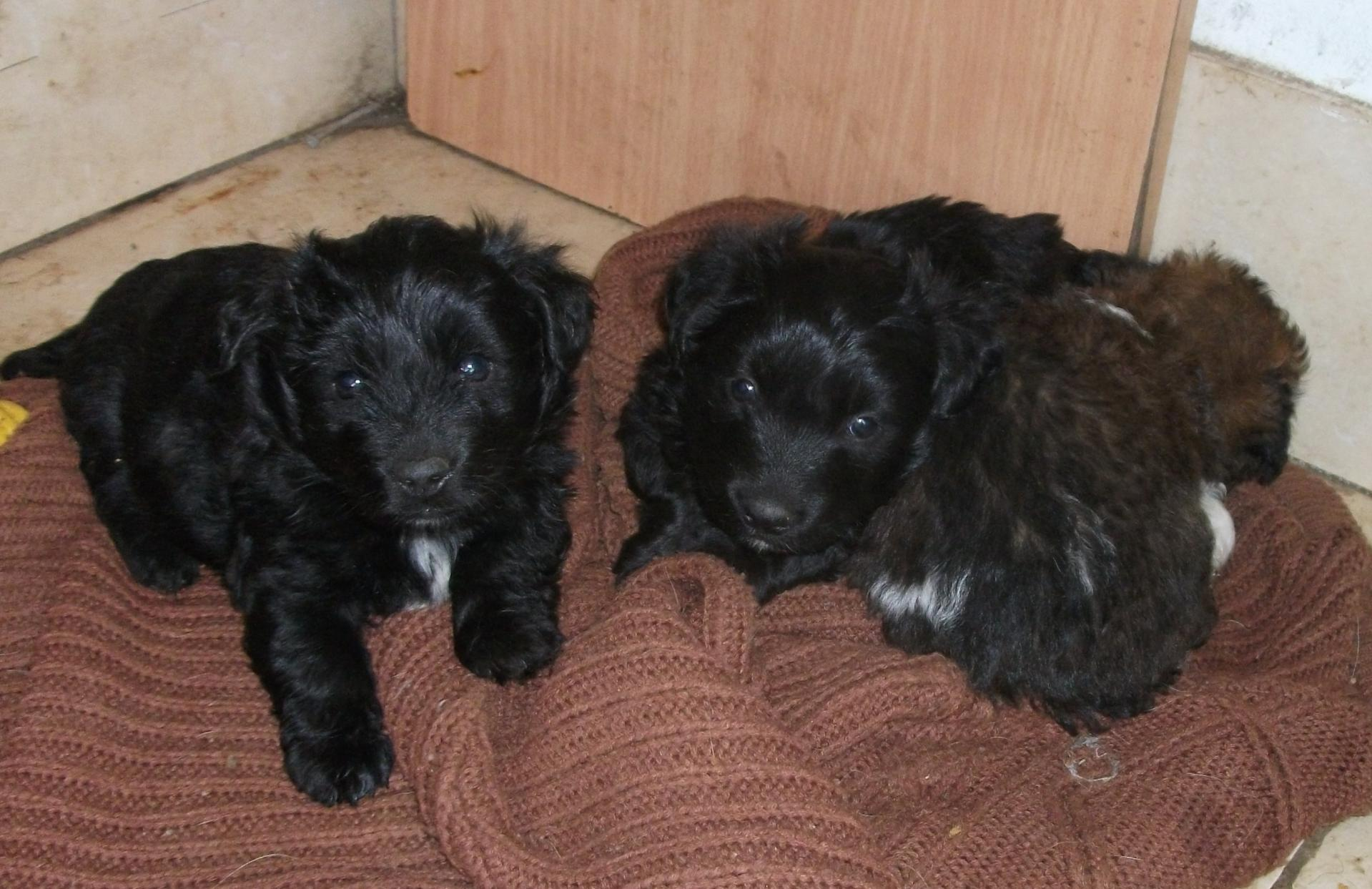 Black fluffy puppies